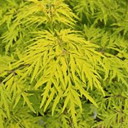 Lemon Lace™ Sambucus