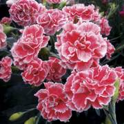 Dianthus Scent First™ Coral Reef