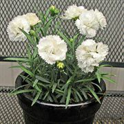 Early Bird™ Frosty Dianthus