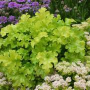 Heuchera Lime Ruffles