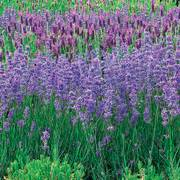 Violet Intrigue Lavender