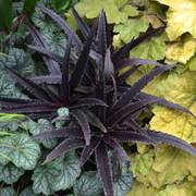 Dark Star Eucomis