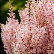 Look at Me Astilbe