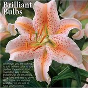 Salmon Star Asiatic Lily - Pack of 3