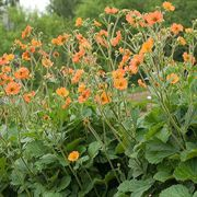 Totally Tangerine Avens