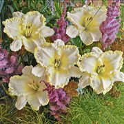 Marque Moon Daylily