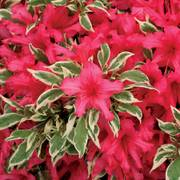 Rhododendron Bollywood®