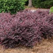 Crimson Fire Loropetalum