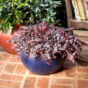 Loropetalum Crimson Fire™