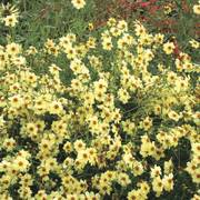 Moonlight Coreopsis