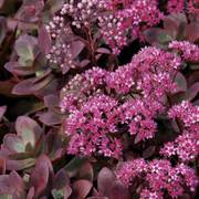 Sedum Sunsparkler® Firecracker