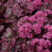 Sunsparkler® Firecracker Stonecrop