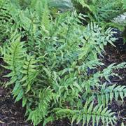 Cyrtomium Japanese Holly Fern