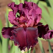 Medici Prince Tall Bearded Iris