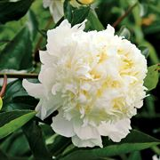 Paeonia Charlies White