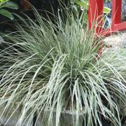 EverColor® Everest Variegated Sedge