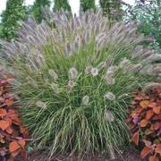 Pennisetum Prairie Winds ® Desert Plains