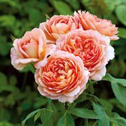 Carding Mill® Shrub Rose