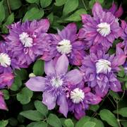 Clematis Diamantina™