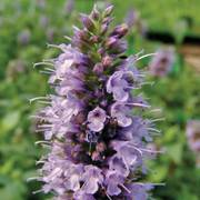 Black Adder Hyssop