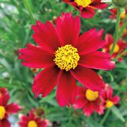 Coreopsis Lil Bang™ Red Elf
