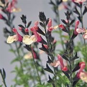 Suncrest Autumn Moon Autumn Sage