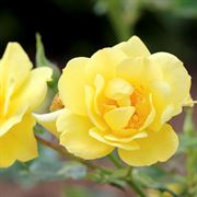 Oso Easy® Lemon Zest Rose