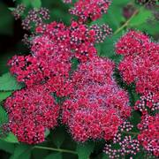 Spirea Double Play® Red Alternate Image 1