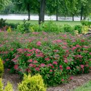 Spirea Double Play® Red Alternate Image 3