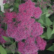 Spirea Double Play® Red Alternate Image 4