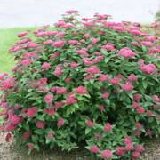 Spirea Double Play® Red Alternate Image 5