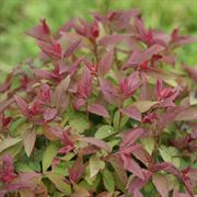Spirea Double Play® Red Alternate Image 6