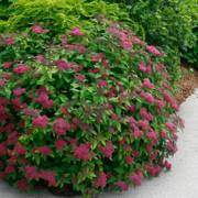 Spirea Double Play® Red Alternate Image 7