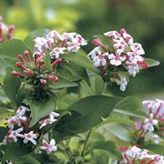 Sweet Emotion® Abelia