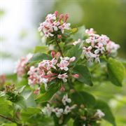 Sweet Emotion™ Abelia