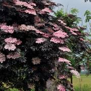 Sambucus Black Lace®
