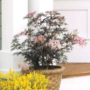 Sambucus Black Lace™