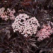 Black Lace™ Elderberry