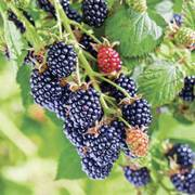 Chester Blackberry Shrub
