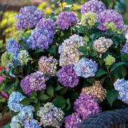 Hydrangea Endless Summer® BloomStruck®