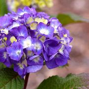 Endless Summer® BloomStruck™ Hydrangea