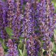 Salvia Color Spires® Violet Riot