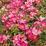 Party Dress Groundcover Rose