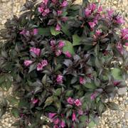 Minor Black® Weigela