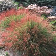 Undaunted® Ruby Muhly Grass