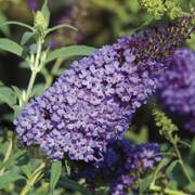 Buddleia Buzz™ Sky Blue