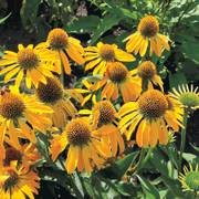 Buttefly ™ Golden Skipper Echinacea