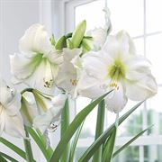 Wonderful White Amaryllis Bulbs