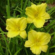 'Big Time Happy' Hemerocallis