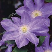Clematis Dianas Delight™